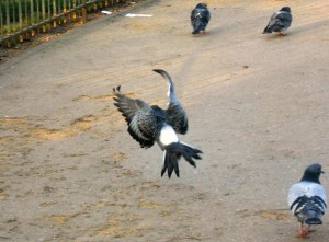 1 Picture 1 Word Flying Pigeon