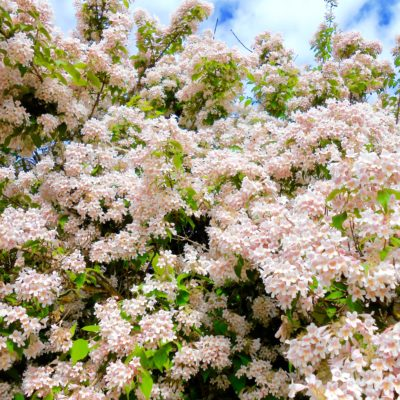 Sky of Flowers