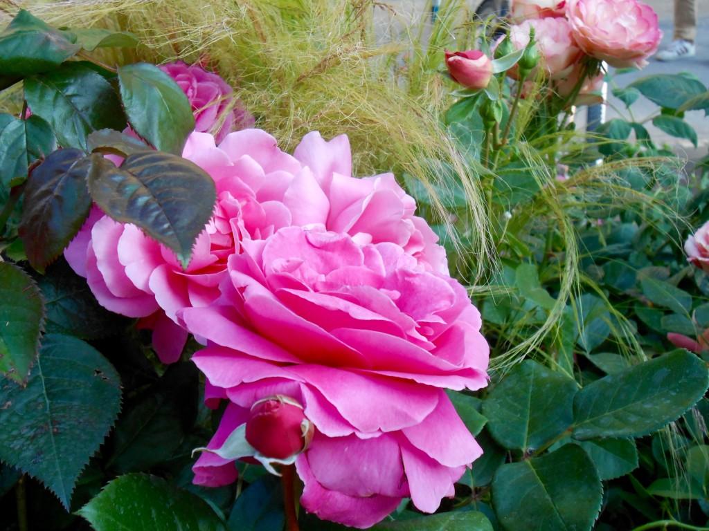 Rose4Tomorrow (10)