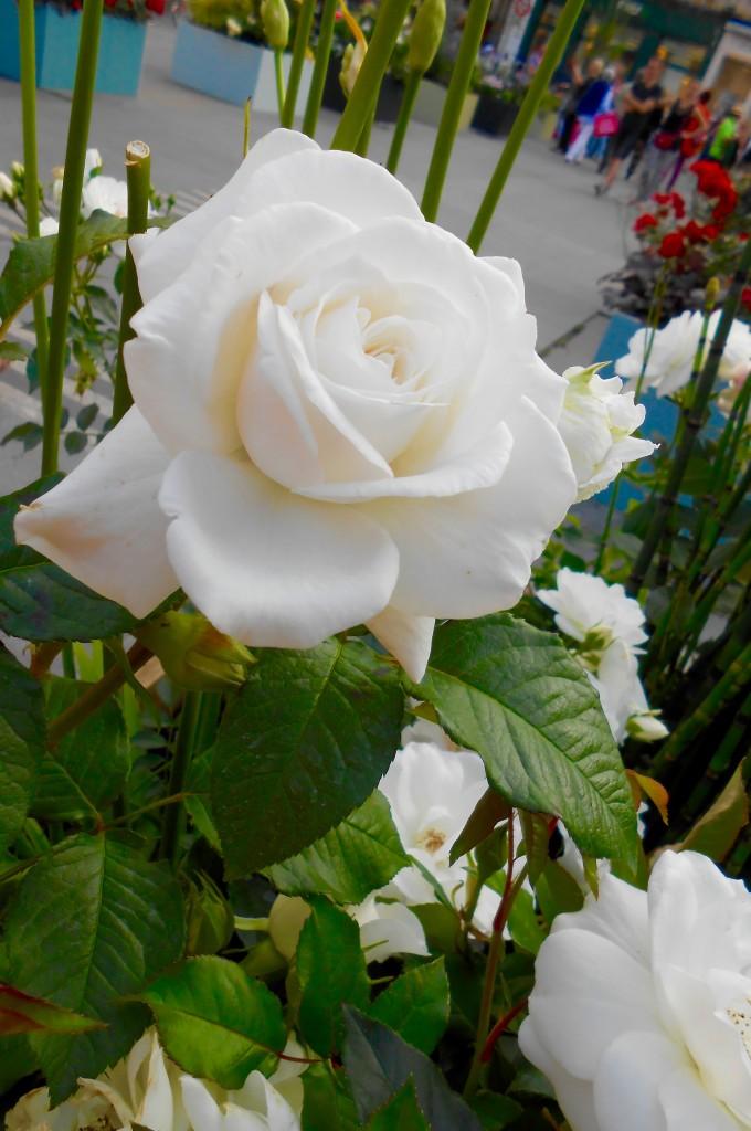 Rose4Tomorrow (11)