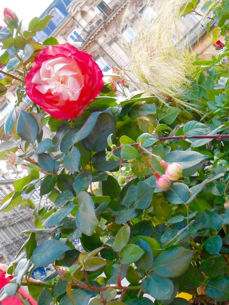 Rose4Tomorrow (12)