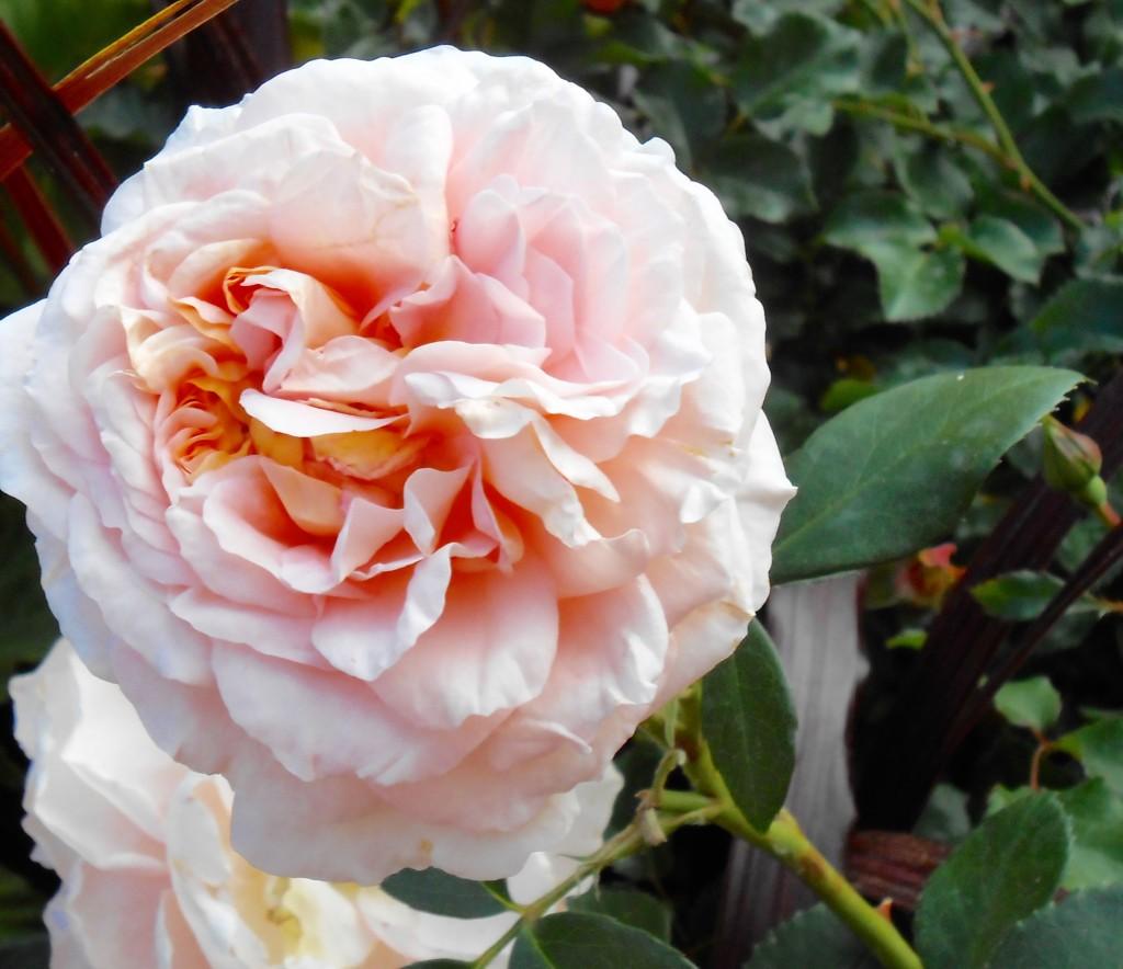 Rose4Tomorrow (7)