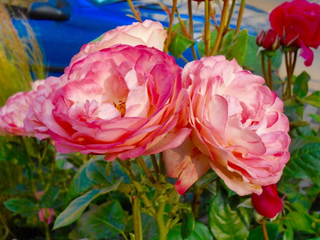 Rose4Tomorrow (9)